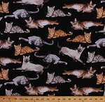 Cotton Cats Kittens Kitties Siamese Cat Animals Feline Pets Cotton Fabric Print by the Yard (CAT-C5751-BLACK)
